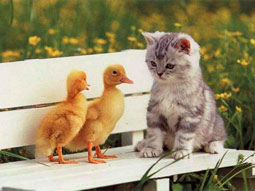 chat-canards